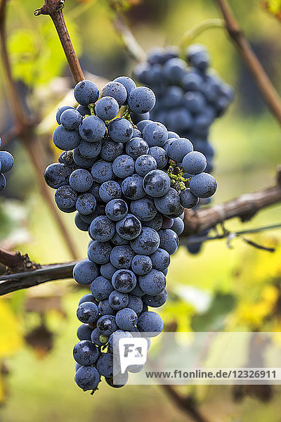 Cluster of purple grapes hanging from the vine; Caldaro  Bolzano  Italy