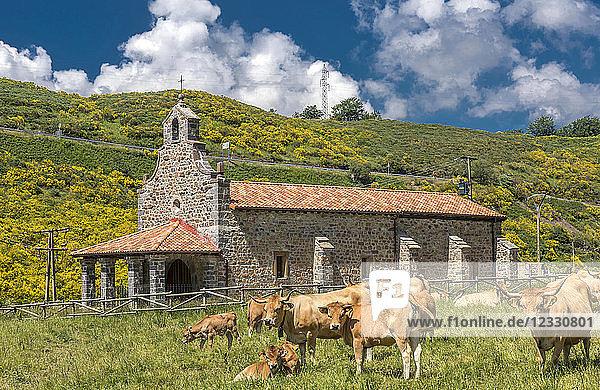 Spain  National park of los Picos de Europa  province of León  cows in front of a chapel in Llanos-de-Valdeón