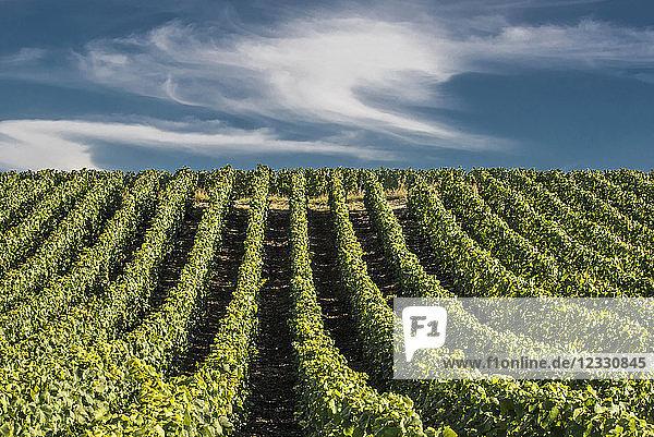 France  Grand Est  Marne  Verzenay  Vignoble de Champagne in Oger  Cote des Blancs  Coteaux de Champagne