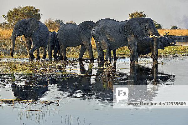 Africa  Namibia  Bwabwata National Park  Kwando river  herd of elephants  Loxodonta africana