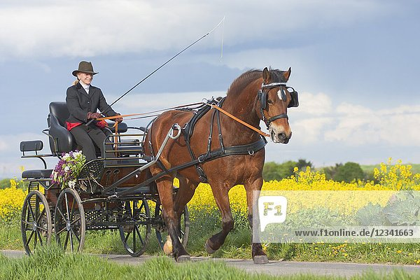 Woman coaching a horse-drawn carriage on a small countryroad in Bornheim near Bonn  Germany.
