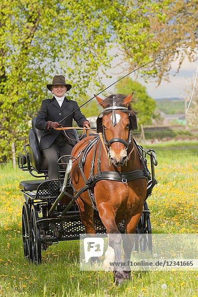 Woman coaching a horse-drawn carriage on a samll countryroad in Bornheim near Bonn  Germany.