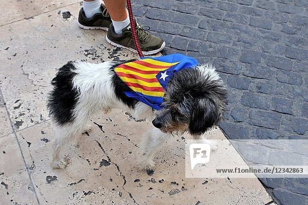 Dog with estelada  independentist flag. Political demonstration for the independence of Catalonia. September 2017. Barcelona  Catalonia  Spain