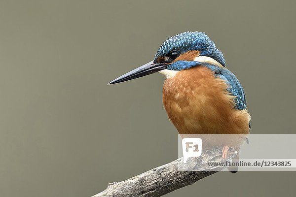 Kingfisher ( Alcedo atthis )  male bird  perched on top of a branch for hunting  detailed frontal view  soft light  wildlife  Europe.