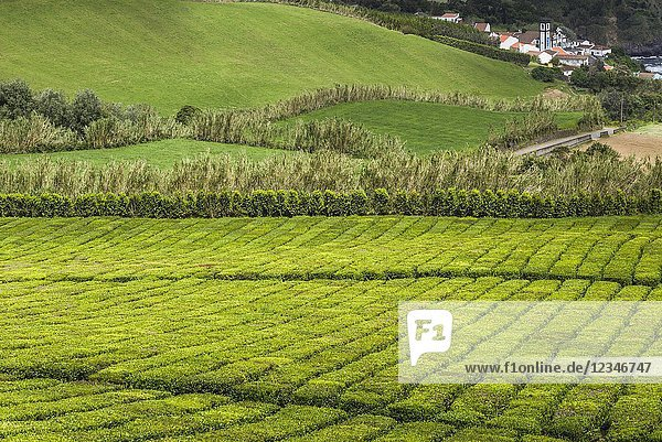 Portugal  Azores  Sao Miguel Island  Gorreana  elevated view of the last tea plantation in Europe.
