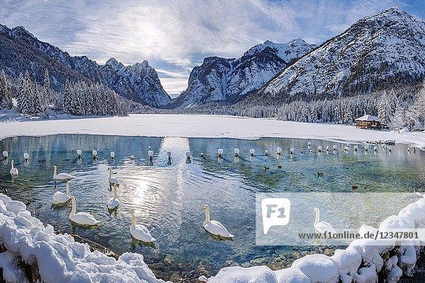 Dobbiaco/Toblach  province of Bolzano  South Tyrol  Italy. Winter at the Lake Dobbiaco with floating swans.