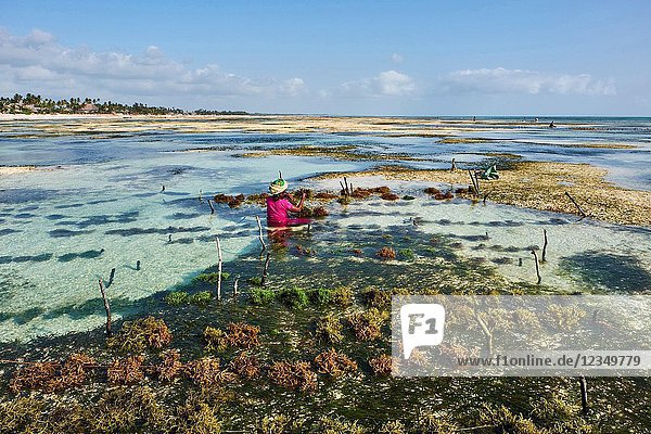 Tanzania  Zanzibar island  Unguja  Jambiani beach  seaweed harvesting at one of the underwater farms  Jambiani.