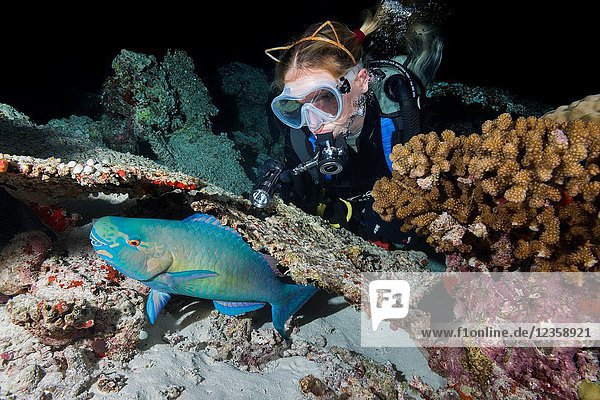 Female scuba diver looks at a sleeping under coral parrot at night. Bullethead Parrotfish  daisy parrotfish or bullethead parrotfish (Chlorurus sordidus).