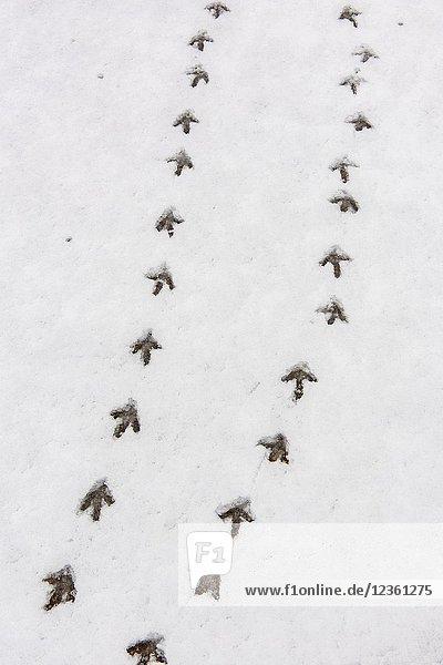 Sharp-tailed Grouse tracks in fresh snow  Oak Hammock Marsh  Stonewall  Manitoba  Canada.