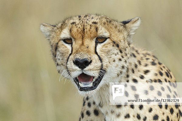 Portrait of Cheetah. Acinonyx jubatus. Kenia. Africa.