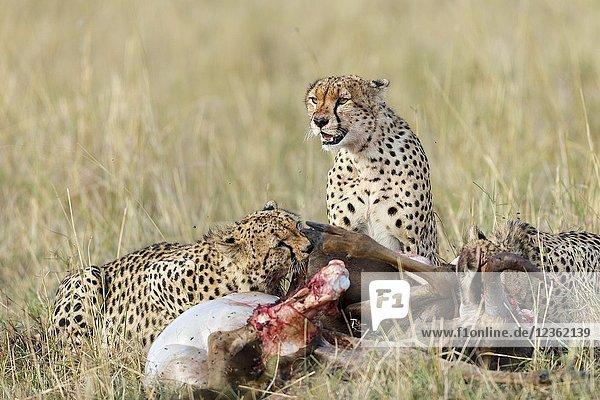 Cheetah eating a carcass. Acinonyx jubatus. Kenia. Africa.