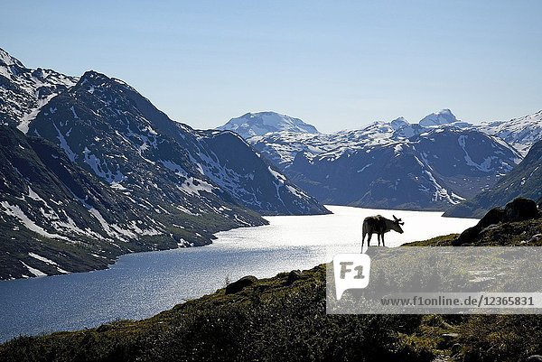 Norway  Oppland  Vaga  Jotunheimen National Park  Besseggen Ridge  reindeer in fromt of the Lake Gjende.