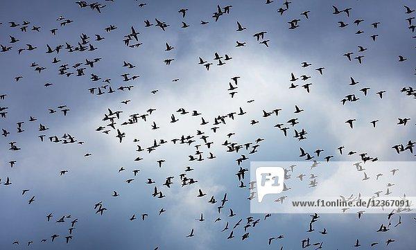Eurasian wigeon  also known as widgeon (Mareca penelope)  Marismas de Santoña  Victoria y Joyel Natural Park  Escalante  Cantabria  Spain  Europe.