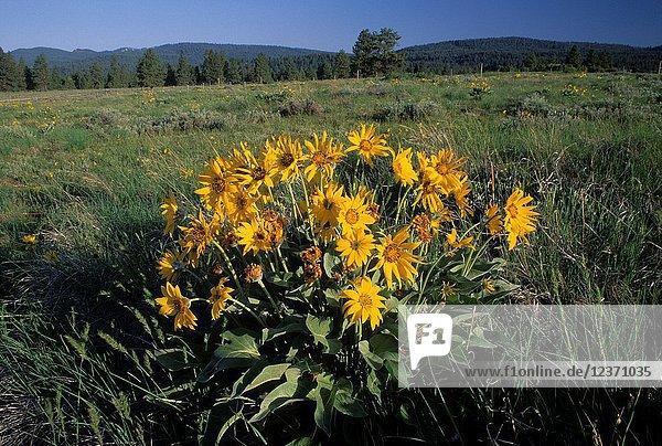 Balsamroot (Balsamorhiza deltoidea)  Pilcher Creek Park  Oregon.