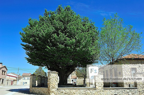An elm tree  one of the fews alive still. Amayas town  Guadalajara province  Spain