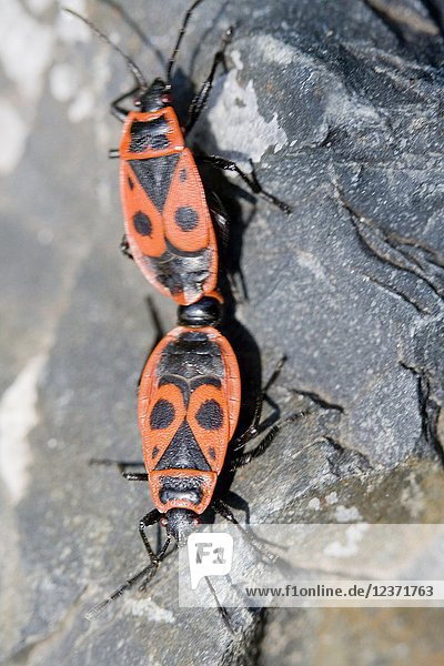Firebug,  Pyrrhocoris apterus. Diet is seed of lime trees and mallows. Mating can be from 7hours to 12 days. gathers in huge aggregations in the spring. Invasive European insect to North America,  but considered harmless.