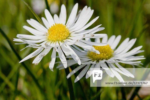 English Daisy  Bellis perennis.