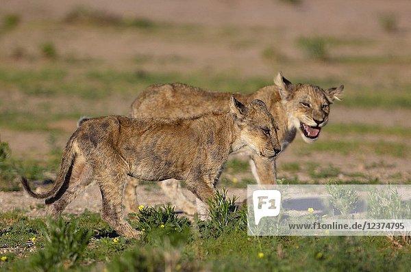 African lion (Panthera leo) -Cubs  Kgalagadi Transfrontier Park  Kalahari desert  South Africa/Botswana..
