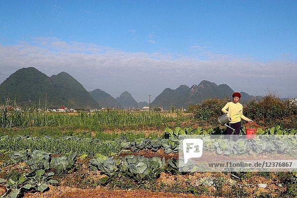 Farmer watering vegetable in the field.