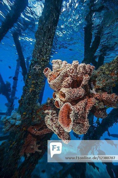 Sponges growing on pilings at Sebayur Island  Komodo National Park  Flores Sea  Indonesia.