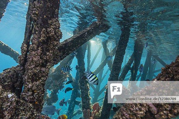 Reef fish on pilings at Sebayur Island  Komodo National Park  Flores Sea  Indonesia.