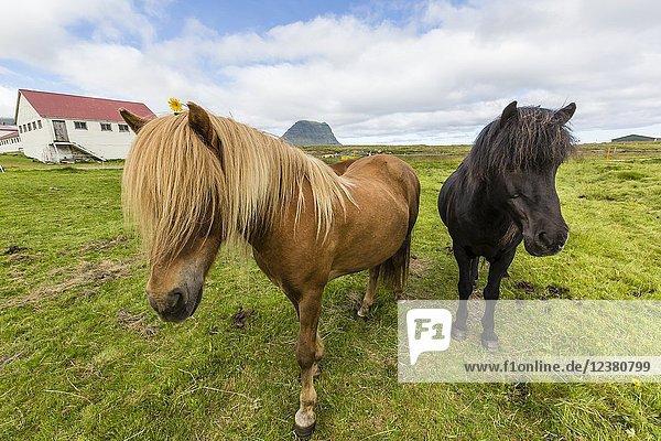 Adult Icelandic horses  Equus ferus caballus  on a farm on the Snæfellsnes Peninsula  Iceland.