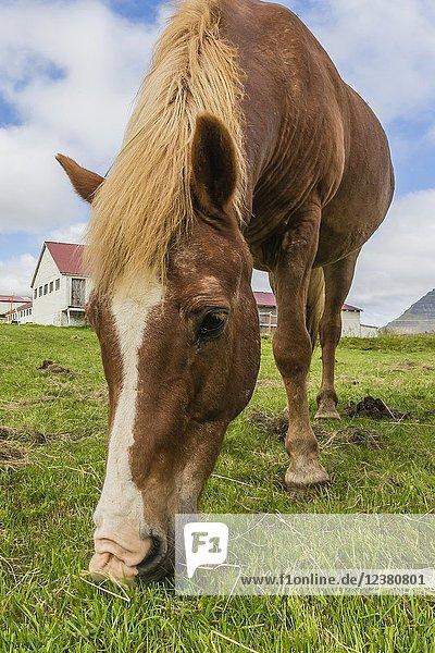 Adult Icelandic horse  Equus ferus caballus  on a farm on the Snæfellsnes Peninsula  Iceland.