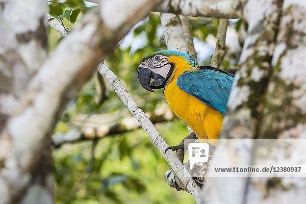 Adult blue and yellow macaw  Ara ararauna  Amazon National Park  Upper Amazon River Basin  Loreto  Peru.