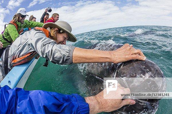 California gray whale calf  Eschritius robustus  with tourists in San Ignacio Lagoon  Baja California Sur  Mexico.