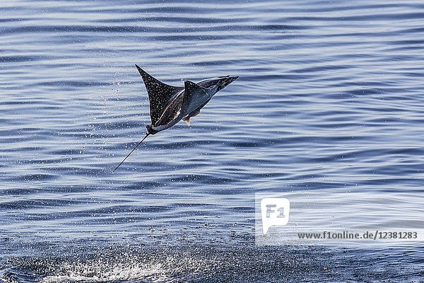 Adult Munk's pygmy devil ray  Mobula munkiana  leaping with remora attached  Isla Danzante  BCS  Mexico.
