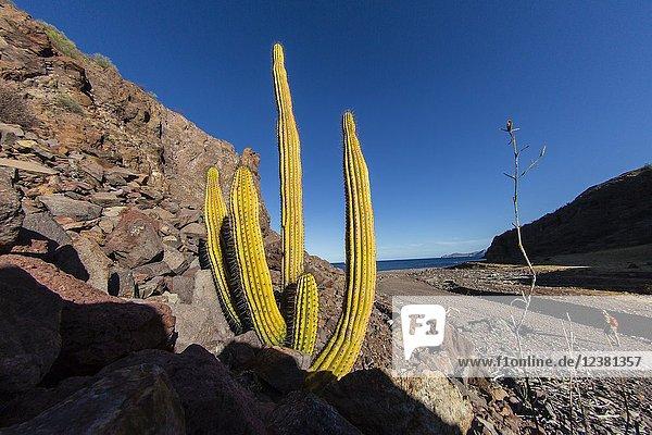 Mexican giant cardon  Pachycereus pringlei  Gull Rock  Baja Peninsula  BCS  Mexico.