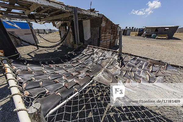 Shark fins drying in the sun from local shark fisherman on Belcher Point  Magdalena Island  BCS  Mexico.
