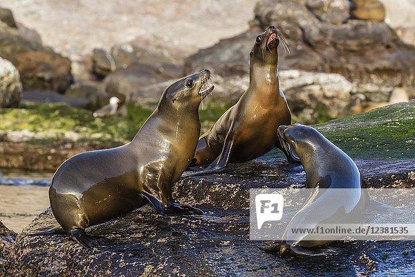 Young California sea lions  Zalophus californianus  mock fighting  Isla San Pedro Martir  Baja California  Mexico.
