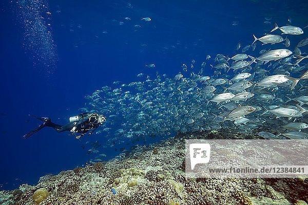 Taucherin schwimmt mit Fischschwarm Großaugen-Makrelen (Caranx sexfasciatus) in blauem Wasser über Korallenriff  Insel Fuvahmulah  Indischer Ozean  Malediven  Asien