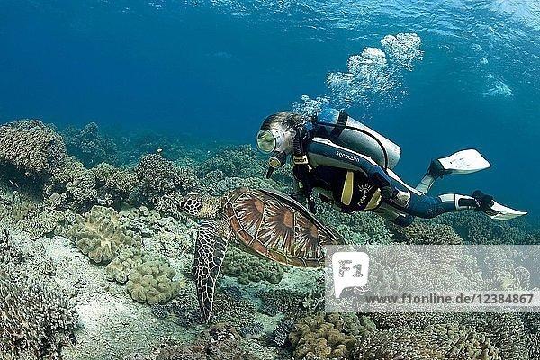 Taucher und Grüne Meeresschildkröte (Chelonia mydas) mit Schiffshaltern (Echeneidae) im Korallenriff  Moalboal  Cebu  Philippinen  Asien
