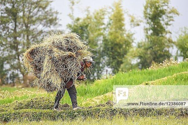 Bauer mit Strohballen am Rücken  Punakha Distrikt  Königreich Bhutan