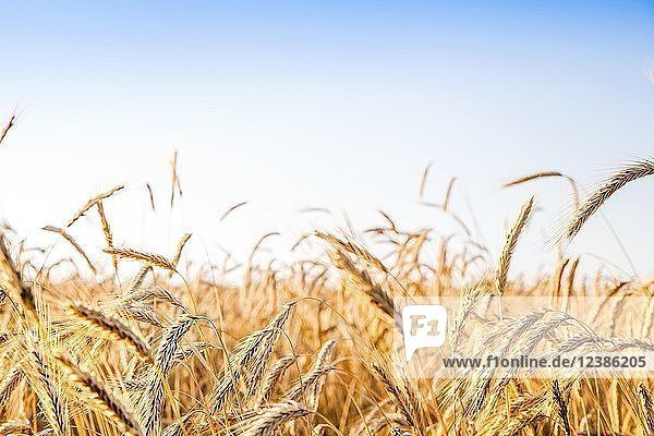 Rye and wheat fields ready for harvesting contrasting blue sky