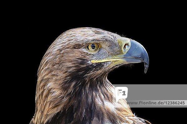 Östlicher Kaiseradler (Aquila heliaca)  Tierportrait  Frankreich  Europa