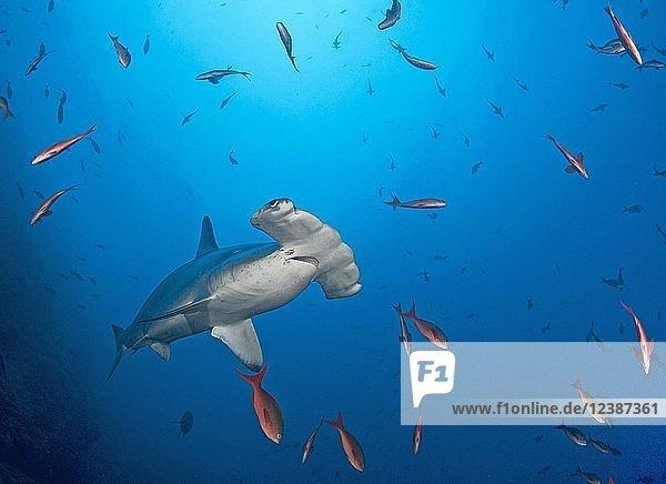 Bogenstirn-Hammerhai (Sphyrna lewini) zwischen Kreolenbarschen (Paranthias colonus)  Cocos Island  Costa Rica  Mittelamerika