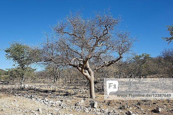 Balsambaum (Commiphora wightii) in karger Landschaft  Kaokoveld  Namibia  Afrika