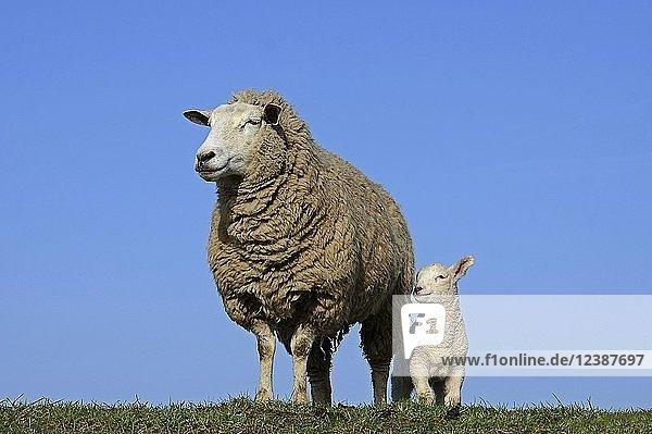 Hausschaf (Ovis gmelini aries)  Mutterschaf mit Lamm  Westerhever  Schleswig-Holstein  Deutschland  Europa