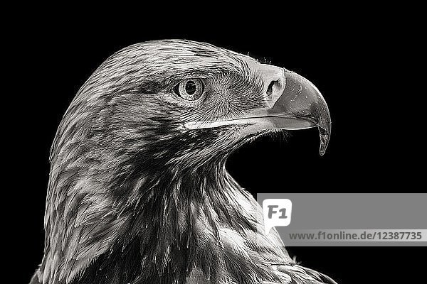 Östlicher Kaiseradler (Aquila heliaca)  Tierportrait  monochrom  Frankreich  Europa