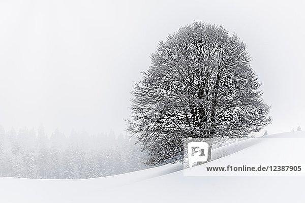 Mit Frost überzogener Baum im Winter  Mont Salève  Archamps  Frankreich  Europa
