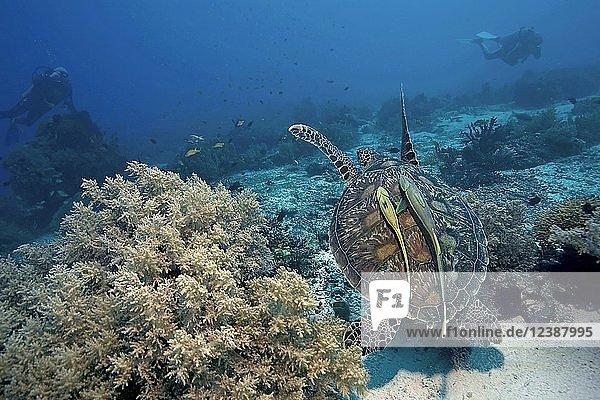 Grüne Meeresschildkröte (Chelonia mydas) mit Schiffshaltern (Echeneidae) im Korallenriff  Moalboal  Cebu  Philippinen  Asien
