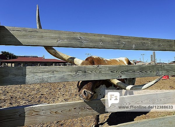 Longhorn domestic cattle behind wooden fence  Stockyards National Historic District  Fort Worth  Texas  USA  North America