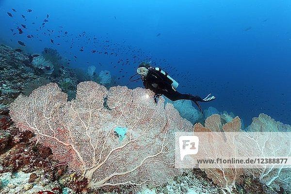 Taucher betrachtet Große Gorgonien (Anella mollis) an Korallenriff  Indischer Ozean  Malediven  Asien