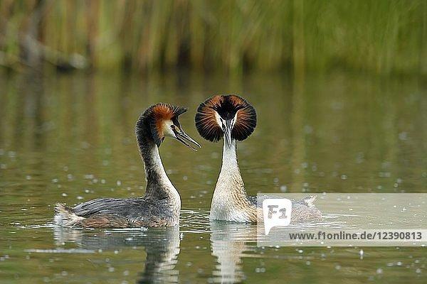 Haubentaucher (Podiceps cristatus)  Tierpaar im Wasser  bei der Balz  Vierwaldstättersee  Kanton Luzern  Schweiz  Europa