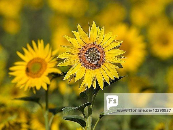 Sonnenblume (Helianthus annuus)  Sonnenblumenfeld  Nordrhein-Westfalen  Deutschland  Europa