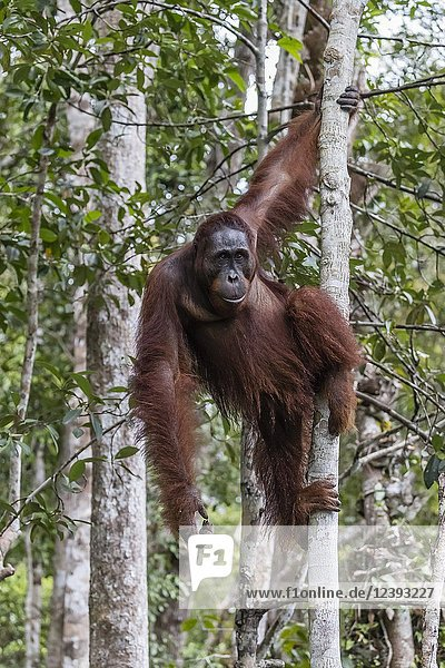 Male Bornean orangutan  Pongo pygmaeus  at Camp Leakey dock  Borneo  Indonesia.