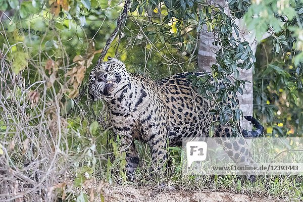 An adult female jaguar  Panthera onca  shaking water off  Rio Tres Irmao  Mato Grosso  Brazil.